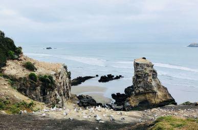 Colonie de Fous de Bassan - Muriwai Beach - Nouvelle-Zélande