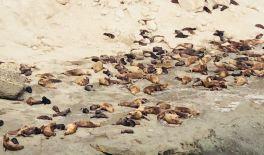 Lions de mer - Péninsule Valdes - Argentine
