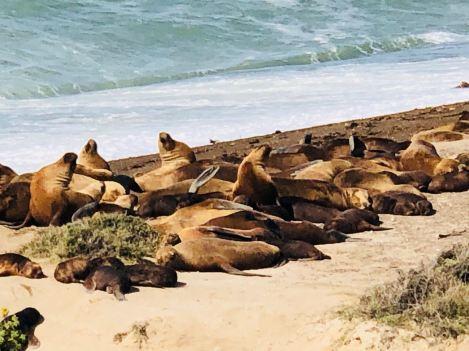 Colonie d'éléphants de mer - Peninsule Valdes - Argentine