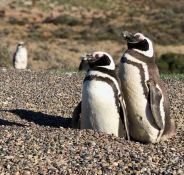 Joli petit couple - Punta Tombo - Argentine