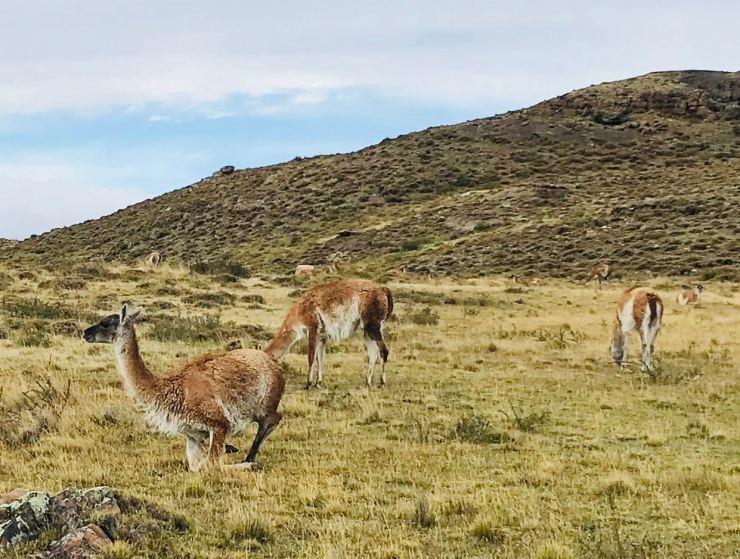 Guanacos - Torres del Paine - Patagonie - Chili