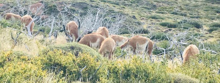 Allez les gars, soyez sympas, levez la tête ! - Guanacos - Torres del Paine - Patagonie - Chili