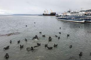 Cormorans dans le port d'Ushuaïa - Terre de Feu - Argentine