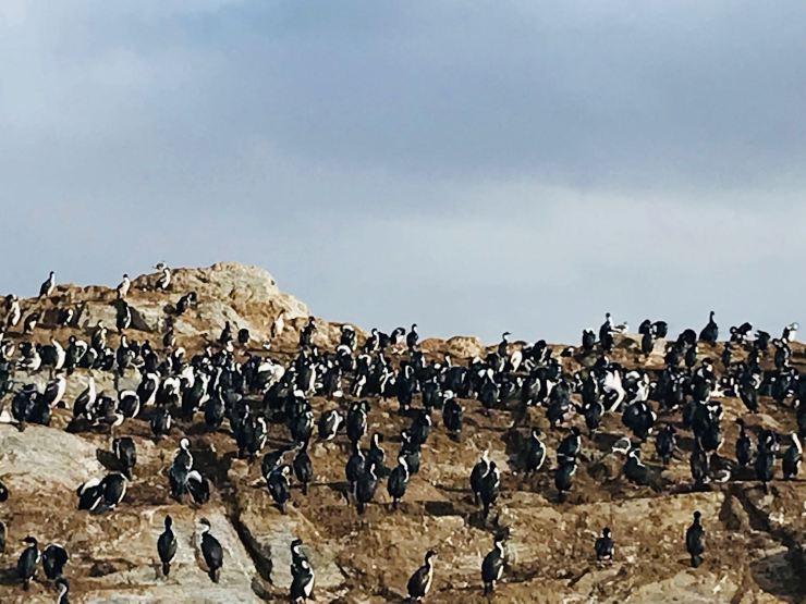 Cormorans royaux - Isla de los Pajaros - Canal de Beagle - Terre de Feu - Argentine
