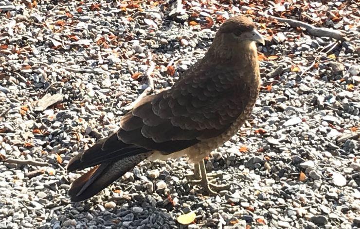 Oiseau de la Terre de Feu - Parc National Tierra de Fuego - Argentine