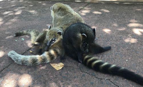 Tas de coatis - Iguazu - Argentine