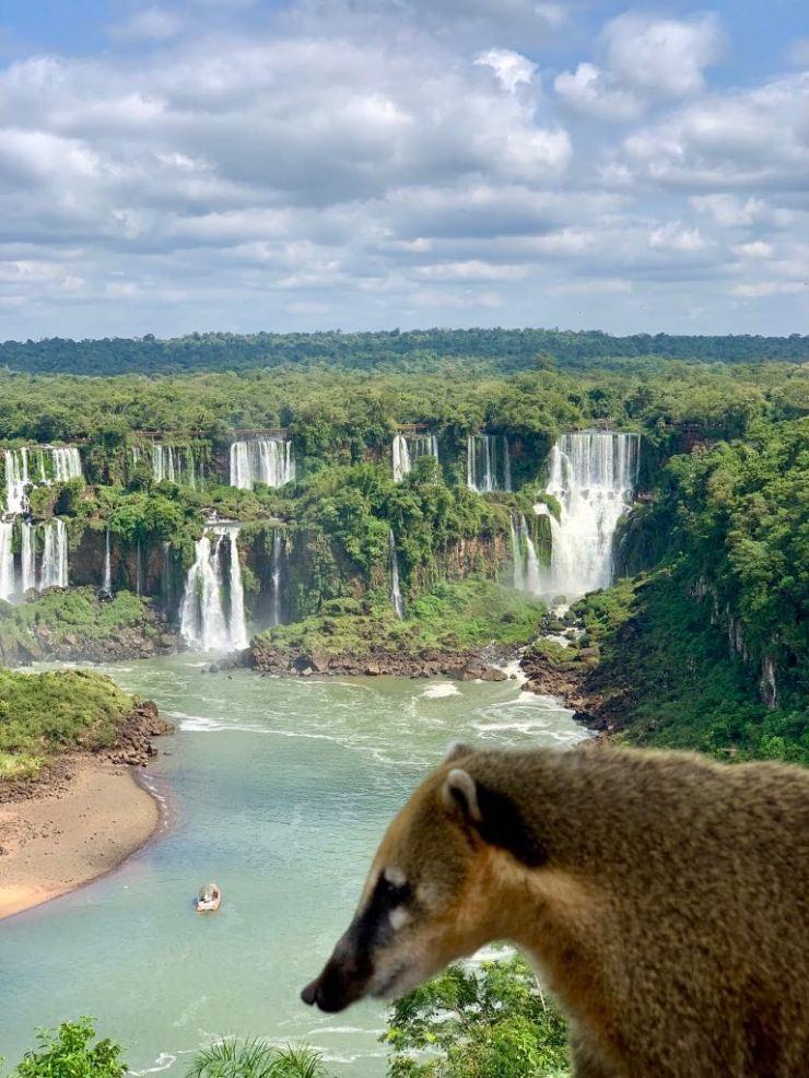 Amphithéâtre des chutes d''Iguazu et coati- Brésil