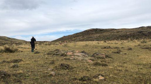 Séquence photo de guanacos - Torres del Paine - Patagonie - Chili