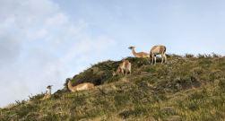 Sous la surveillance des guanacos - Torres del Paine - Patagonie - Chili