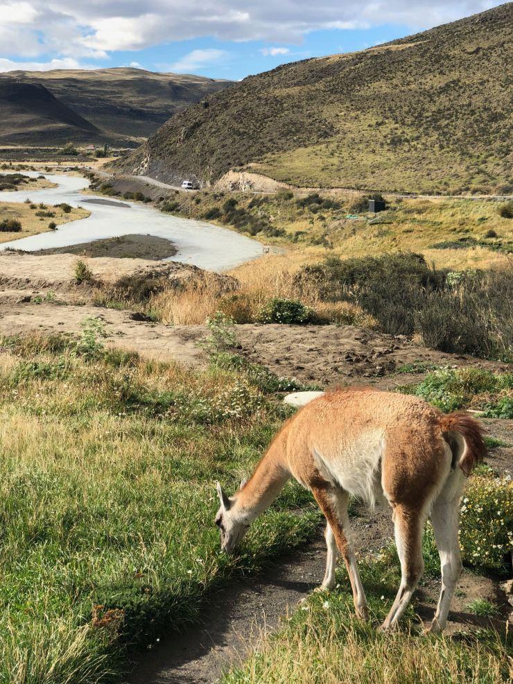 Guanaco - Torres del Paine - Patagonie - Chili