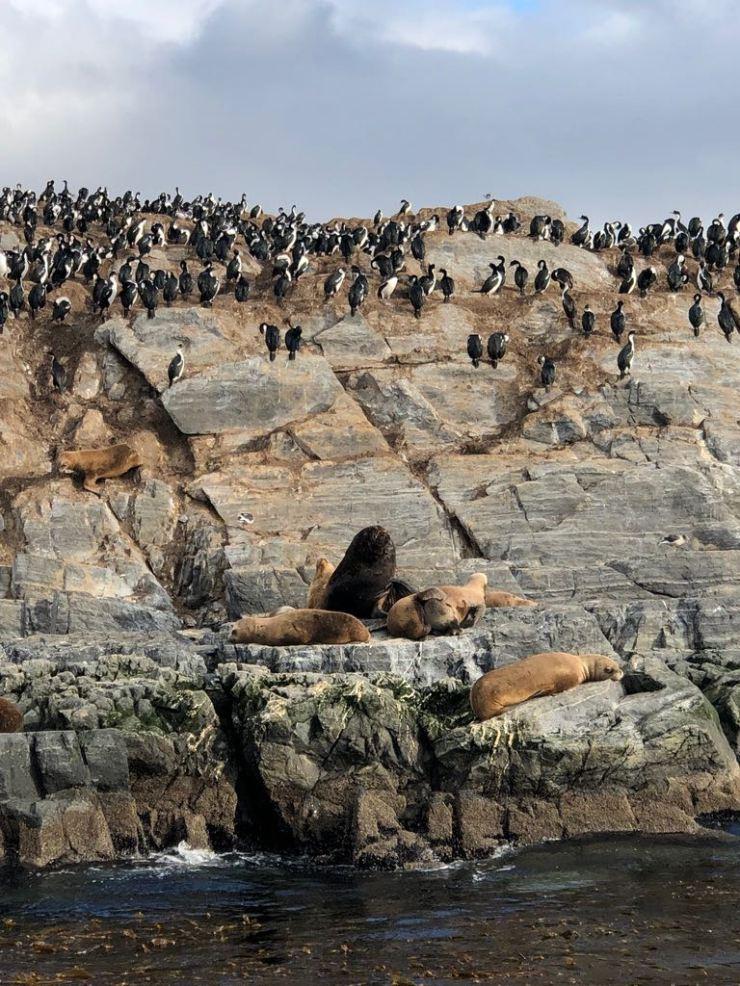 Lions de mer et cormorans- Isla de los Lobos - Canal de Beagle - Terre de Feu - Argentine