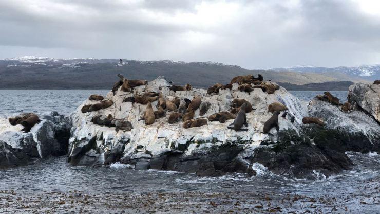 Colonie de lions de mer - Isla de los Lobos - Canal de Beagle - Terre de Feu - Argentine