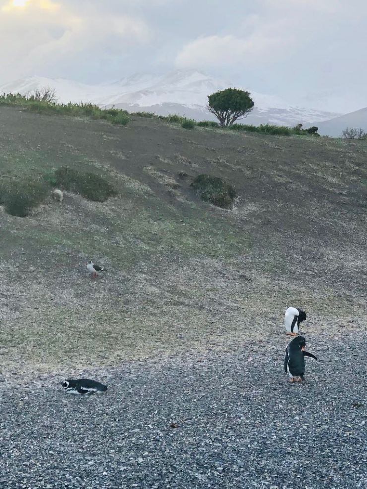 Petits manchots de Magellan - Isla Martillo- Canal de Beagle - Terre de Feu - Argentine