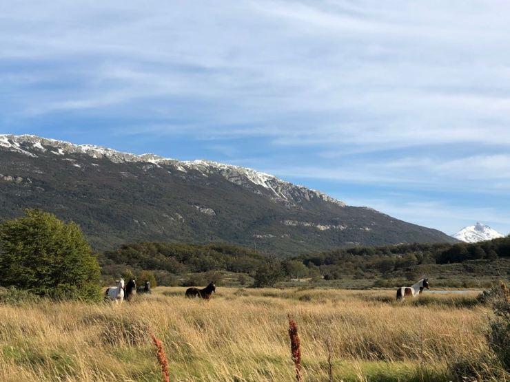 Chevaux sauvages- Parc National Terre de Feu - Argentine