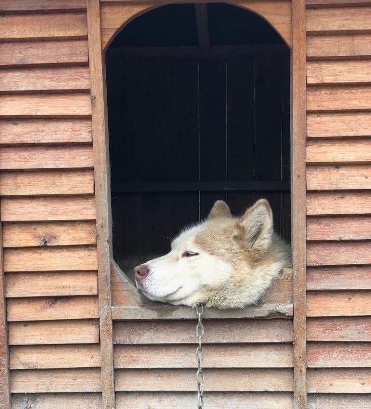 Pacha dans sa niche - Elevage Siberianos de Fuego - Terre de Feu - Argentine