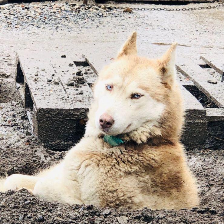 Beaux yeux dans son terrier - Elevage Siberianos de Fuego - Terre de Feu - Argentine