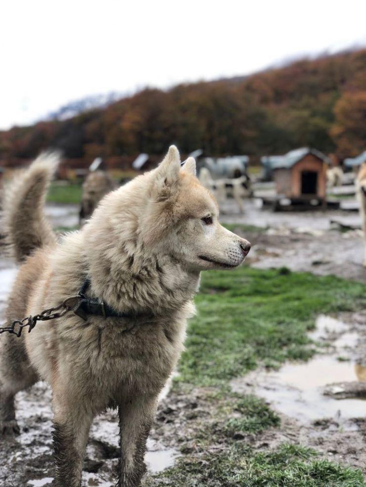 Beau chien- Elevage Siberianos de Fuego - Terre de Feu - Argentine