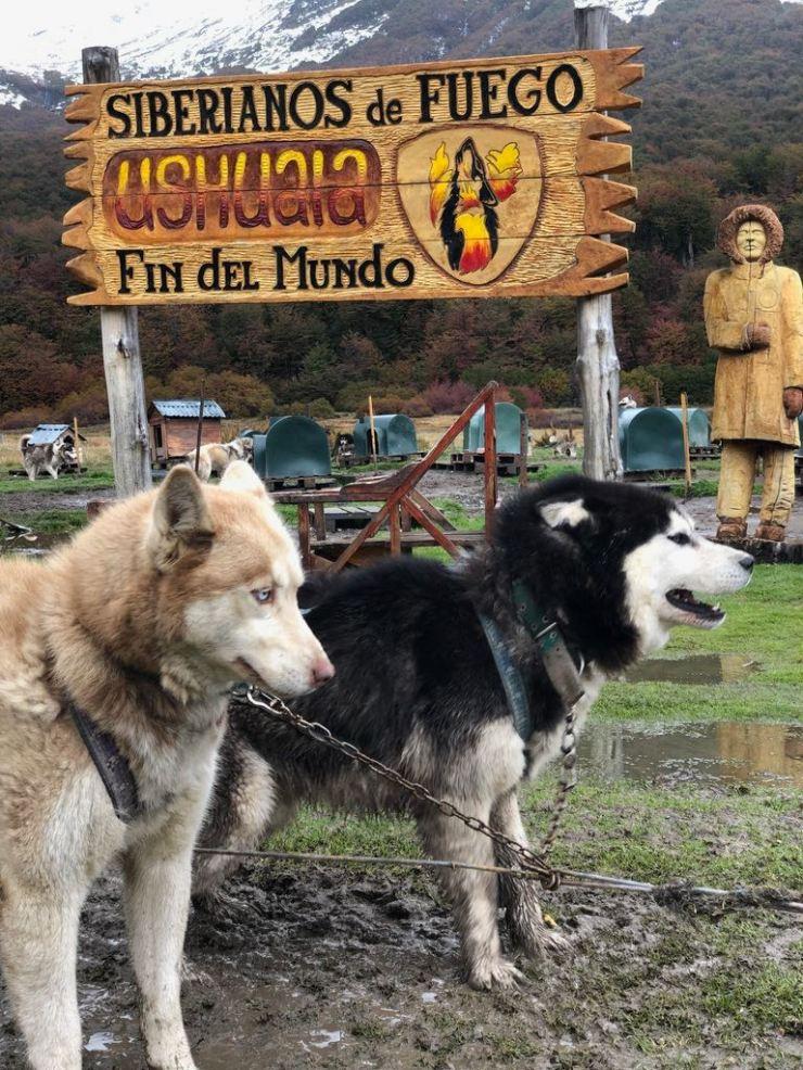 Les chiens sont atelés, et impatients - Elevage Siberianos de Fuego - Terre de Feu - Argentine