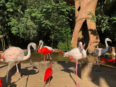 Ibis rouges et flamants roses - Parque Das Aves - Iguazu - Brésil