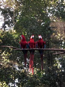 Aras rouges - Parque Das Aves - Iguazu - Argentine