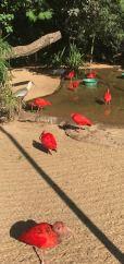 Ibis Rouges - Parque Das Aves - Iguazu - Brésil