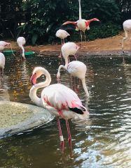 Flamants roses - Parque Das Aves - Iguazu - Brésil