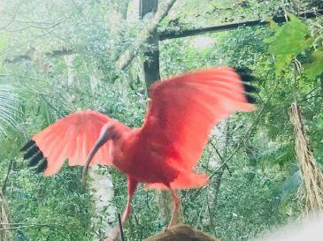 Ibis rouge - Parque Das Aves - Iguazu - Brésil