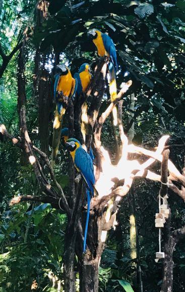 Aras - Parque Das Aves - Iguazu - Brésil