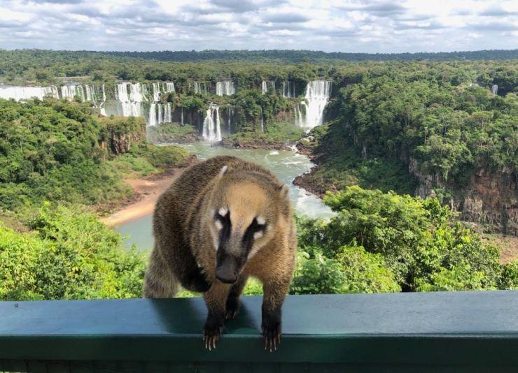 Coati devant les chutes d'Iguazu - Depuis le Brésil