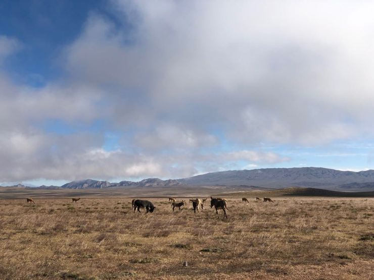 Chevaux sauvages - Altiplano - Noroeste - Argentine