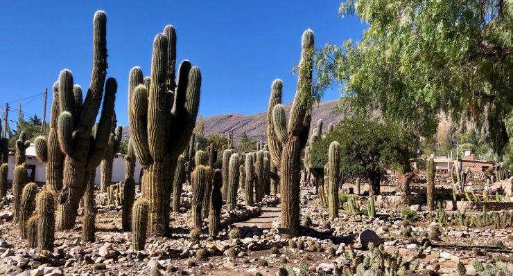 Cactus Candelabres - Jardin botanique de la Pucara de Tilcara - Nordeste - Argentine