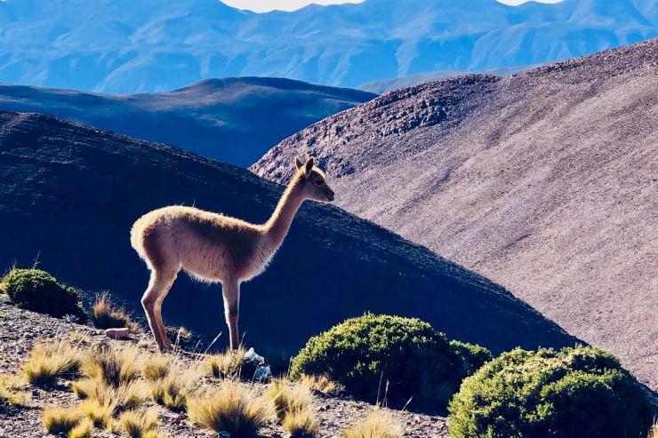 Vigogne - Col de Petrorillos - Nordeste - Argentine