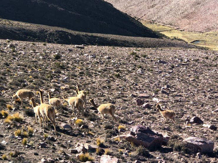 Vigognes - Col de Petrorillos - Nordeste - Argentine