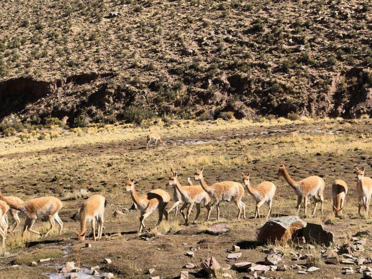 Vigognes trop belles ! - El Hornocal, 4350 mètres - Nordeste - Argentine