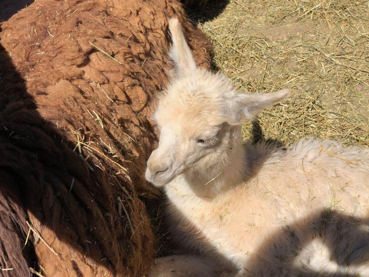 Bébé lama - Près d'Uquia - Nordeste - Argentine