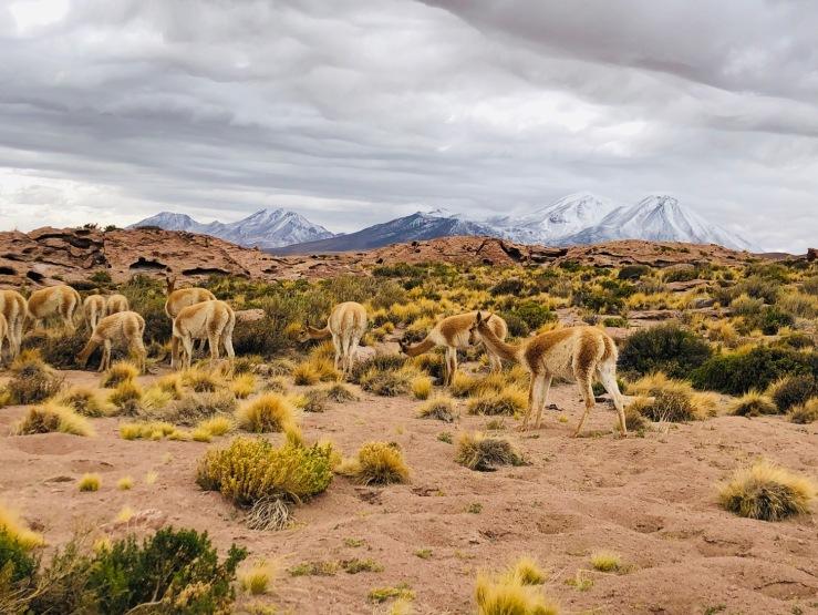 Vigognes - Lagunas Miscanti y Miniques - Désert d'Atacama - Chili