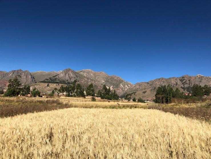 Champ de blé - Région de Sucre - Bolivie